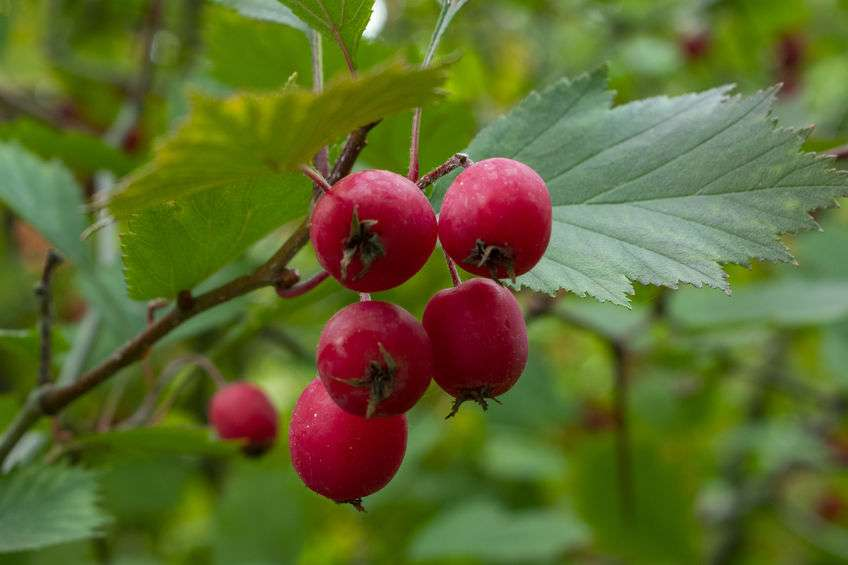 Naturally Botanicals - Hawthorn Berry - Crateagus oxycanthus 2