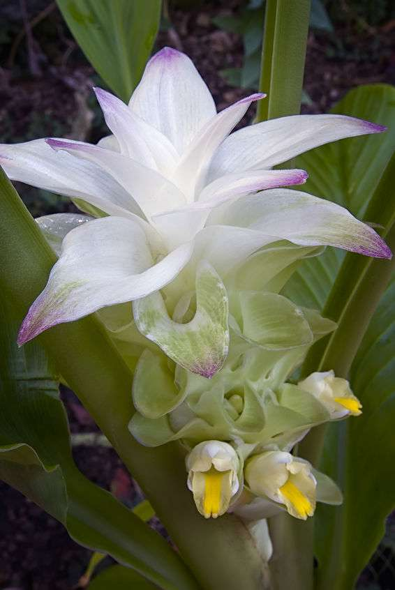 Naturally Botanicals - Turmeric flower - Curcuma longa