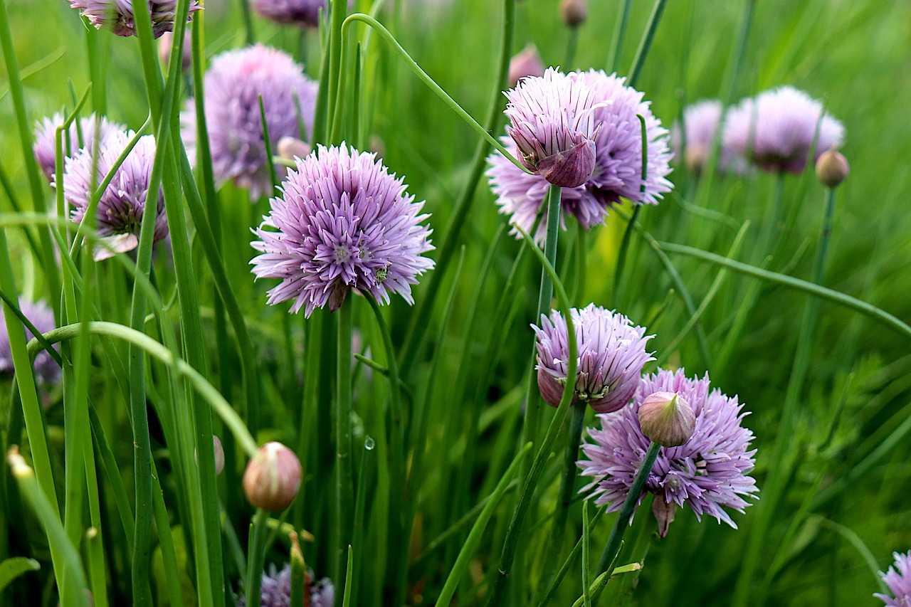 Naturally Botanicals - wild garlic