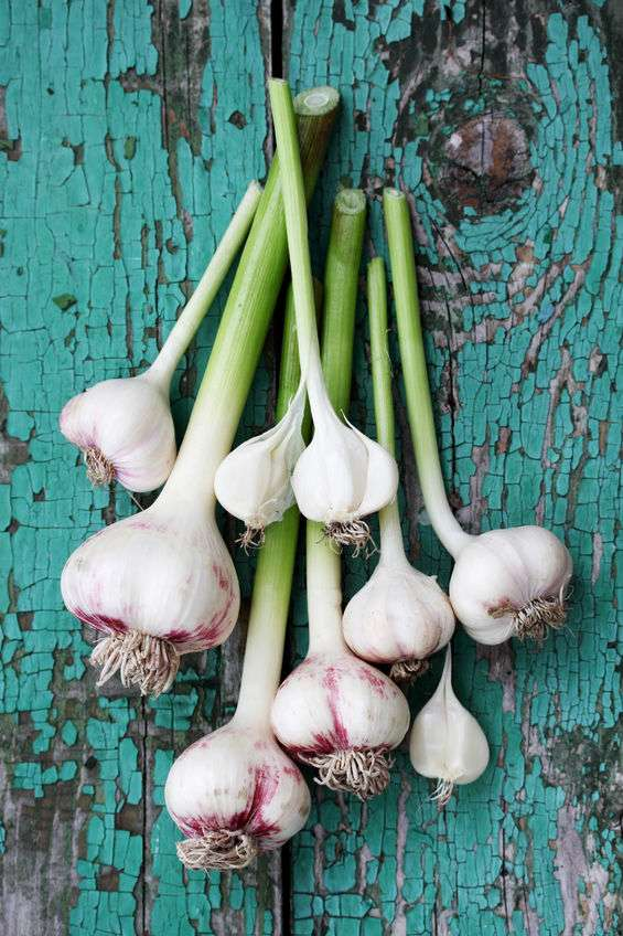Naturally Botanicals-Allium sativum-Garlic 2
