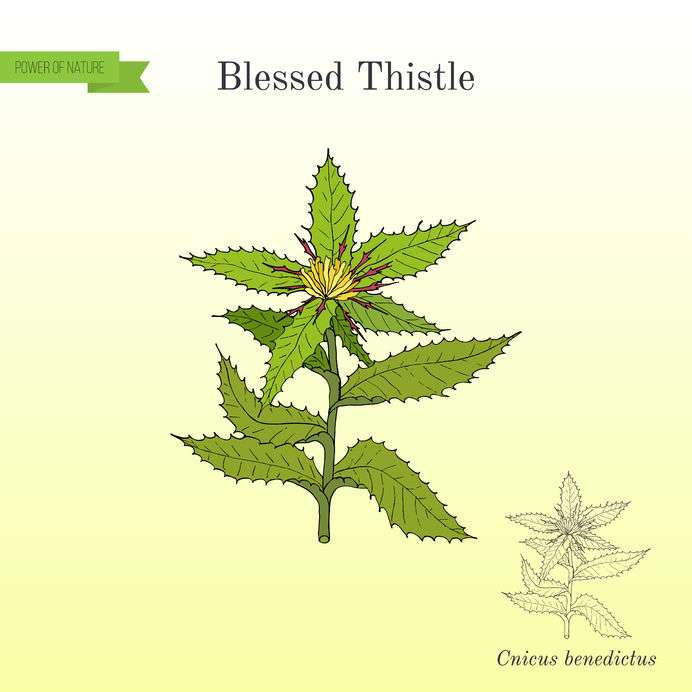 Naturally Botanicals-Cnicus benedictus-Blessed thistle 2