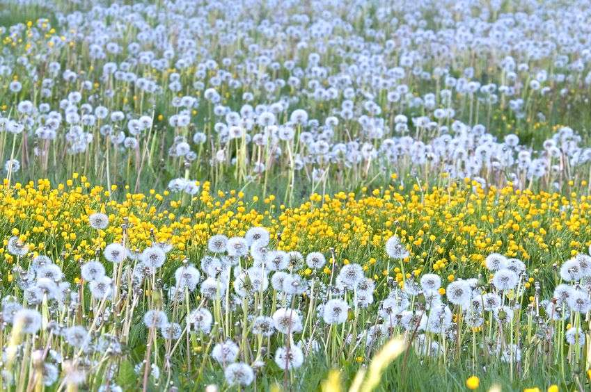 Naturally Botanicals-Dandelion-Taraxacum officinale field