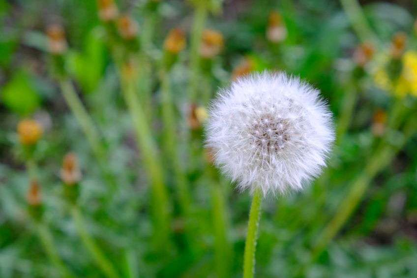 Naturally Botanicals-Dandelion-Taraxacum officinale