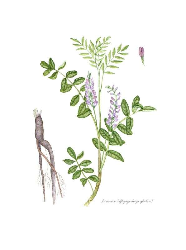 Naturally Botanicals-Glycyrrhiza glabra-Licorice Root 2