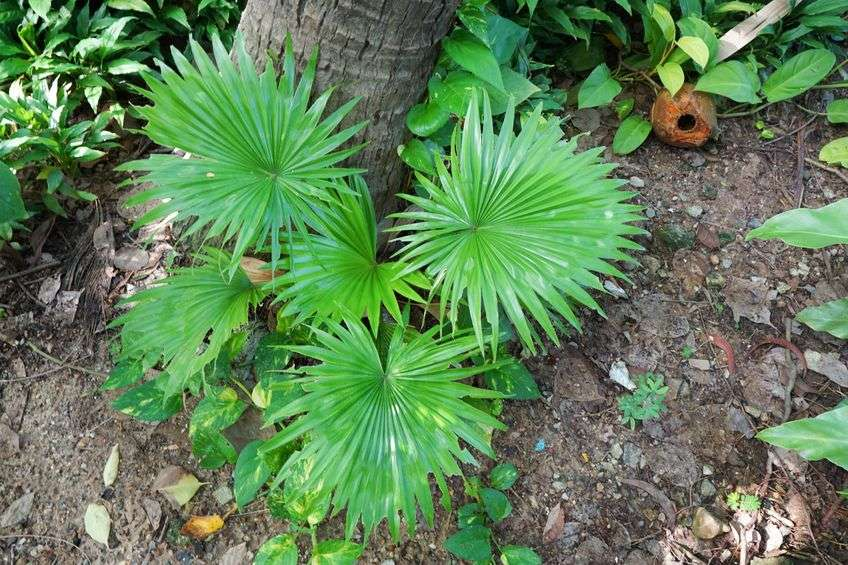 Naturally Botanicals-Saw Pamletto-Serenoa repens